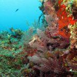 asparago marino 15 150x150 Asparagopsis armata   Asparago marino