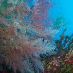 asparago marino 17 150x150 Asparagopsis armata   Asparago marino