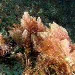 asparago marino 26 150x150 Asparagopsis armata   Asparago marino