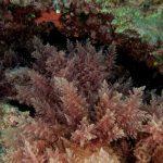 asparago marino 28 150x150 Asparagopsis armata   Asparago marino
