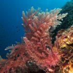 asparago marino 32 150x150 Asparagopsis armata   Asparago marino