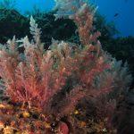 asparago marino 34 150x150 Asparagopsis armata   Asparago marino
