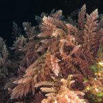 asparago marino 52 150x150 Asparagopsis armata   Asparago marino