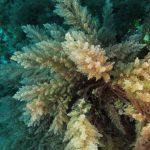 asparago marino 53 150x150 Asparagopsis armata   Asparago marino