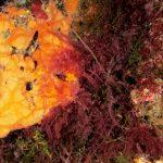 asparago marino 54 150x150 Asparagopsis armata   Asparago marino