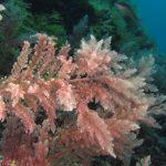 asparago marino 72 150x150 Asparagopsis armata   Asparago marino