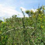 asparago pungente 09 150x150 Asparago pungente