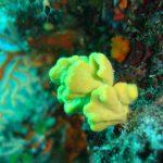 axinella globosa 05 150x150 Axinella damicornis, Spugna axinella globosa