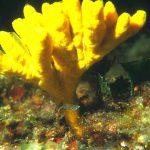axinella verrucosa 12 150x150 Axinella verrucosa   Spugna axinella verrucosa