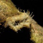 balanofillia 19 150x150 Balanophillia europea   Madrepora molare