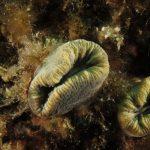 balanofillia 46 150x150 Balanophillia europea   Madrepora molare