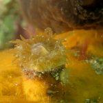 balanofillia 77 150x150 Balanophillia europea   Madrepora molare