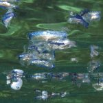 barchetta di san pietro 40 150x150 Velella velella   Barchetta di san pietro