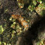 berghia arancio 28 150x150 Berghia verricicornis, Berghia arancio