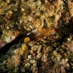 berghia arancio 32 150x150 Berghia verricicornis, Berghia arancio