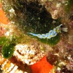 berghia azzurra 05 150x150 Berghia caerulescens   Berghia azzurra