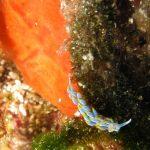 berghia azzurra 06 150x150 Berghia caerulescens   Berghia azzurra