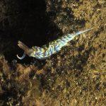 berghia azzurra 17 150x150 Berghia caerulescens   Berghia azzurra
