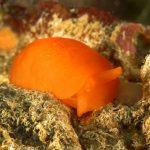 bertella arancio 104 150x150 Berthellina citrina   Bertella gialla
