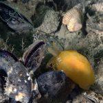 bertella citrina 59 150x150 Berthella stellata   Bertella stellata