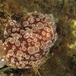 bertella ocellata 12 150x150 Berthella ocellata   Bertella ocellata