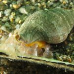 buccino 38 150x150 Buccinolum corneum, Ethuria cornea, Buccino