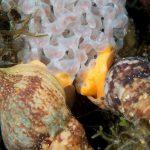 buccino 65 150x150 Buccinolum corneum, Ethuria cornea, Buccino