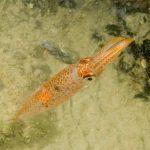 calamaro 06 150x150 Loligo vulgaris   Calamaro