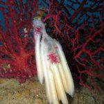 calamaro 09 150x150 Loligo vulgaris   Calamaro