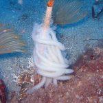 calamaro 13 150x150 Loligo vulgaris   Calamaro
