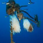 calamaro 17 150x150 Loligo vulgaris   Calamaro