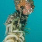 calamaro 26 150x150 Loligo vulgaris   Calamaro