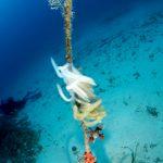 calamaro 55 150x150 Loligo vulgaris   Calamaro