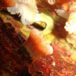carofillia 09 150x150 Caryophillia inornata o smithii   Madrepora inornata
