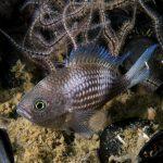 castagnola 36 150x150 Pesce castagnola