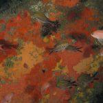 castagnola 50 150x150 Pesce castagnola
