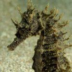 cavalluccio 102 150x150 Hippocampus guttulatus , Cavalluccio marino