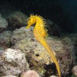 cavalluccio 126 2 150x150 Hippocampus guttulatus , Cavalluccio marino