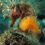 cavalluccio 72 150x150 Hippocampus guttulatus , Cavalluccio marino