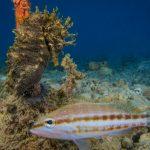 cavalluccio 84 150x150 Hippocampus guttulatus , Cavalluccio marino