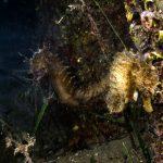 cavalluccio 86 150x150 Hippocampus guttulatus , Cavalluccio marino
