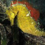 cavalluccio 93 150x150 Hippocampus guttulatus , Cavalluccio marino
