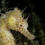 cavalluccio 96 150x150 Hippocampus guttulatus , Cavalluccio marino