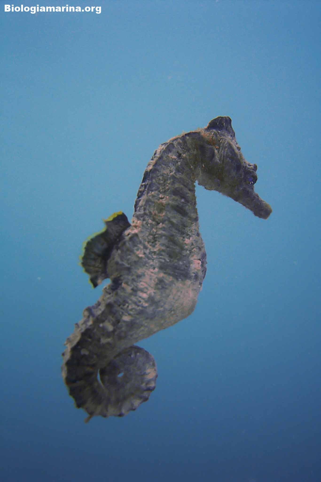 Cavalluccio marino camuso biologia marina del mediterraneo for Immagini di cavalluccio marino