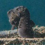 cavalluccio camuso 02 150x150 Hippocampus hippocampus, Cavalluccio marino camuso