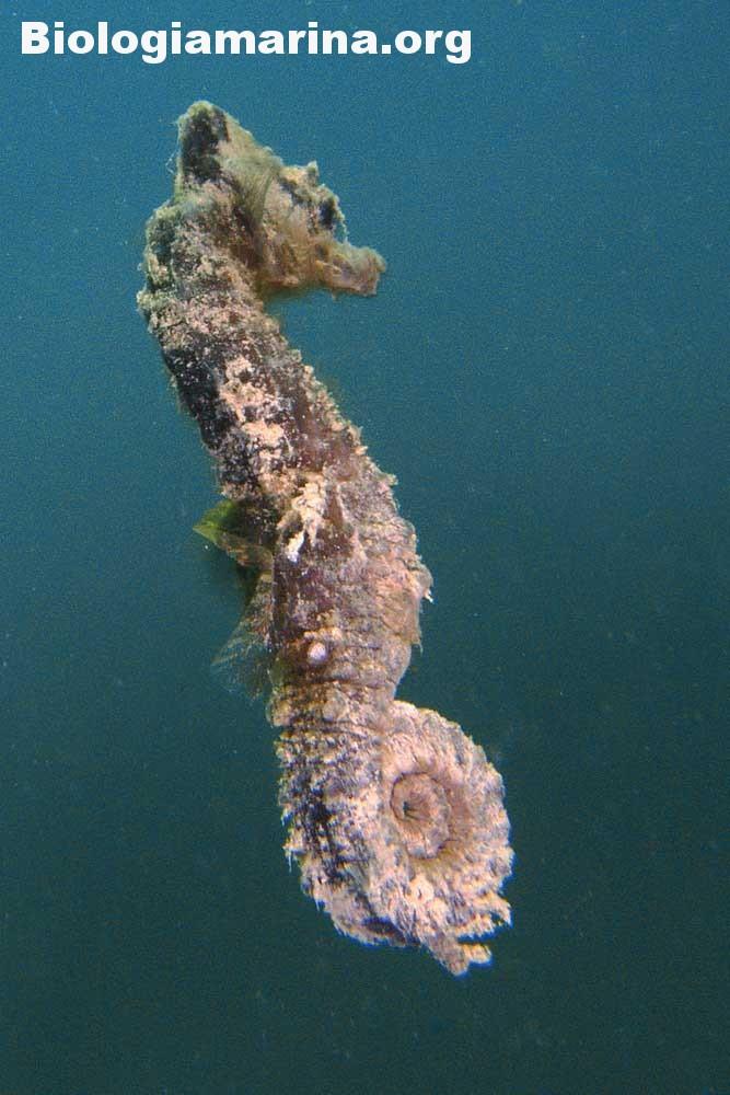 Cavalluccio marino camuso - Biologia marina del Mediterraneo