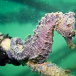 cavalluccio camuso 09 150x150 Hippocampus hippocampus, Cavalluccio marino camuso