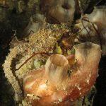 cavalluccio camuso 10 150x150 Hippocampus hippocampus, Cavalluccio marino camuso