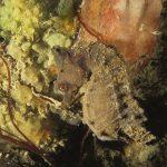 cavalluccio camuso 11 150x150 Hippocampus hippocampus, Cavalluccio marino camuso
