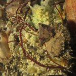 cavalluccio camuso 12 150x150 Hippocampus hippocampus, Cavalluccio marino camuso